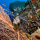 Lion Fish by Allan Saben