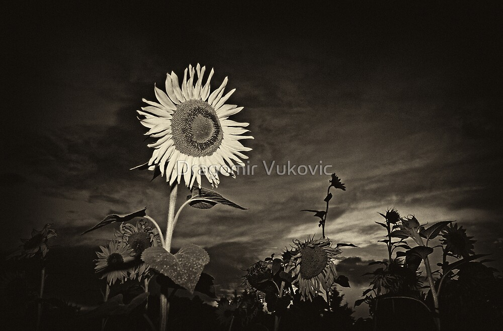 Sun Flower by Dragomir Vukovic