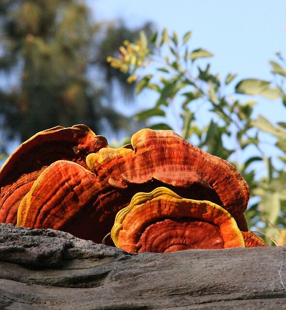 Oyster mushroom by agnessa38