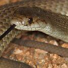 Pygmy mulga snake by Stewart Macdonald