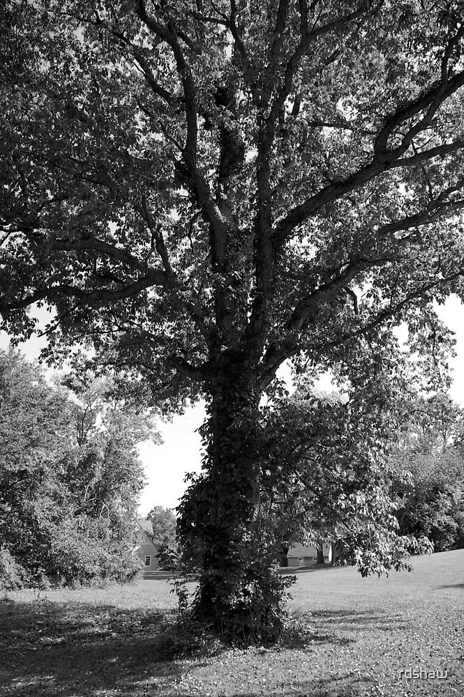 Tall Tree by rdshaw