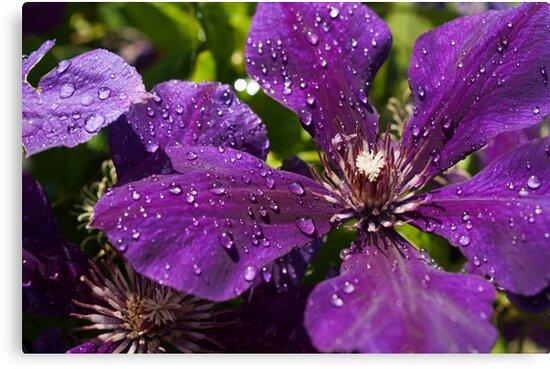 Dew Drops on Purple Flowers by mirandaburski