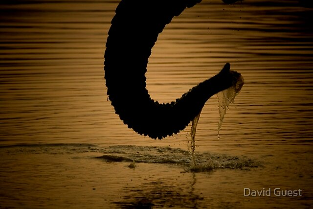 The prehensile water tool of an Elephant by David Guest