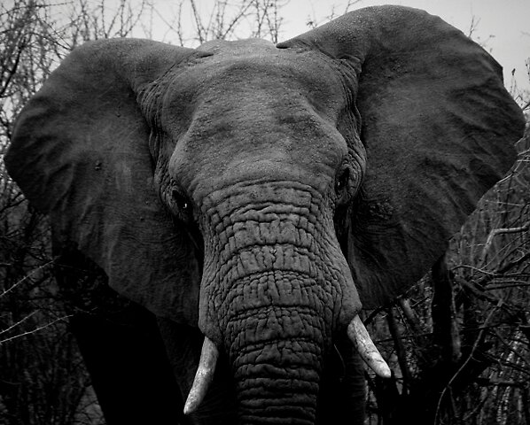 A charging elephant by David Guest
