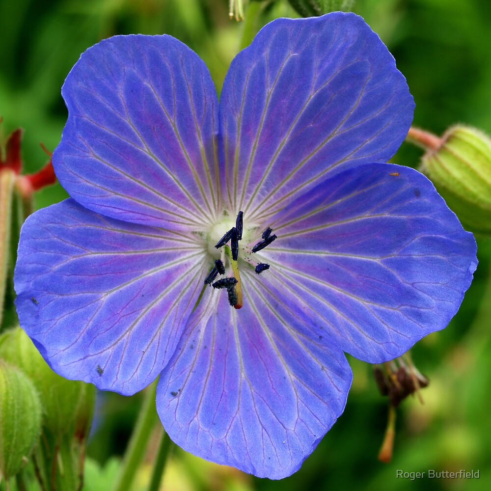 Meadow Cranesbill by Roger Butterfield