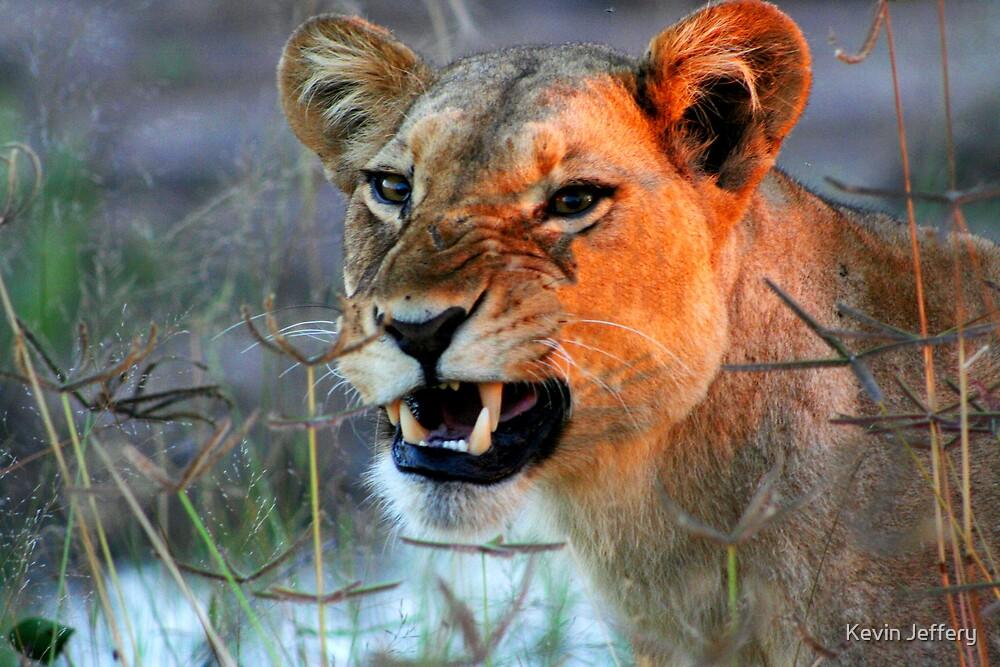 Lioness by Kevin Jeffery