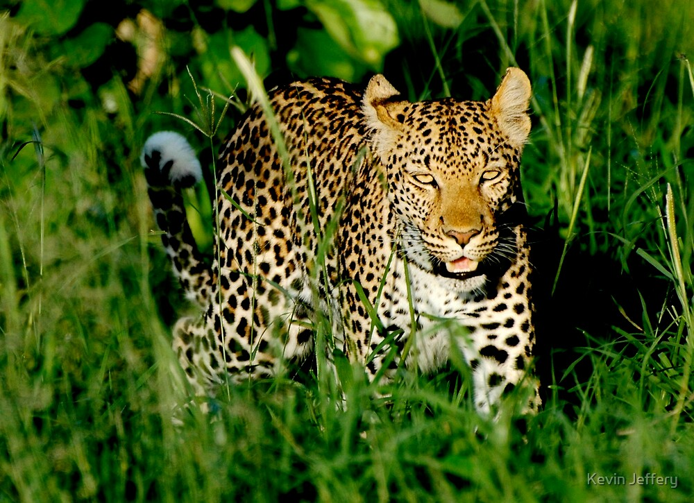 Leopard in the grass by Kevin Jeffery