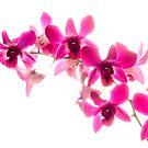 Phaelenopsis Pink by George Kypreos