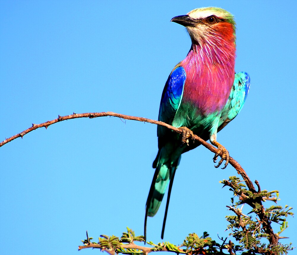Lilac Breasted Roller by Kevin Jeffery