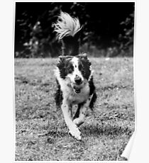Buddy Collie Poster