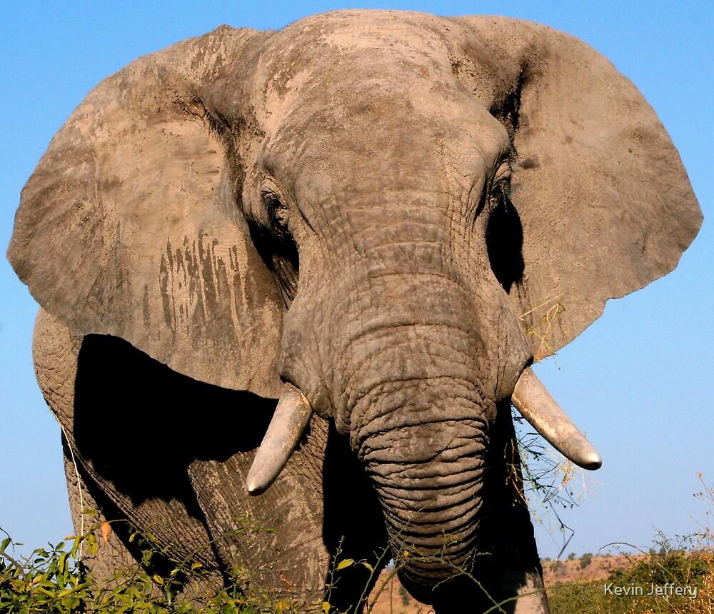 Elephant Bull by Kevin Jeffery