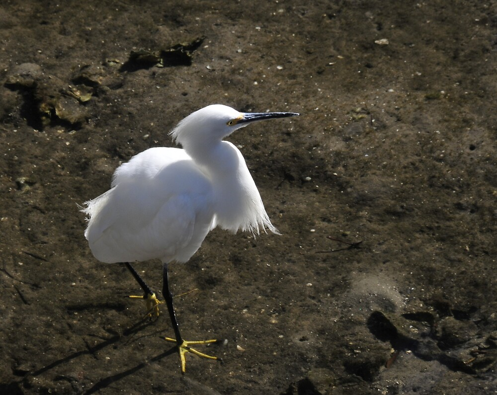 Florida Everglades - The Silver Egret by bertspix