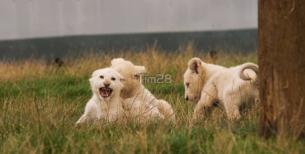 White Lion cubs by Tim28