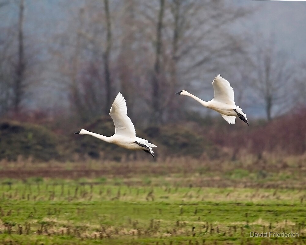 Swans Landing In a Field by David Friederich