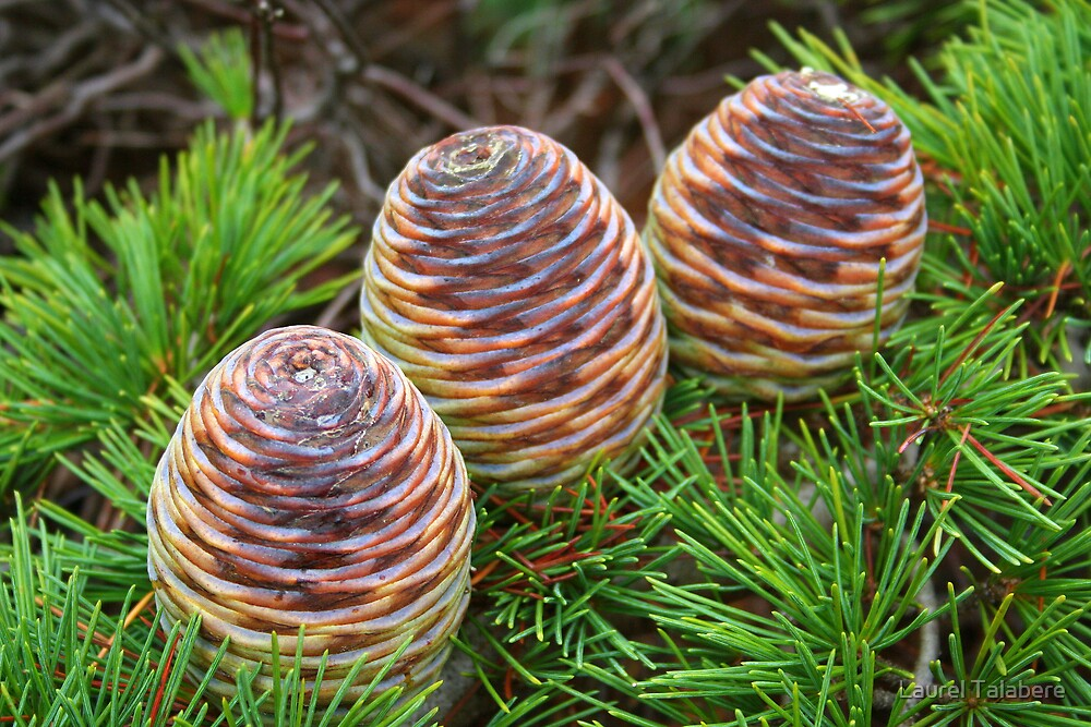 Three Merry Pine Cones by Laurel Talabere