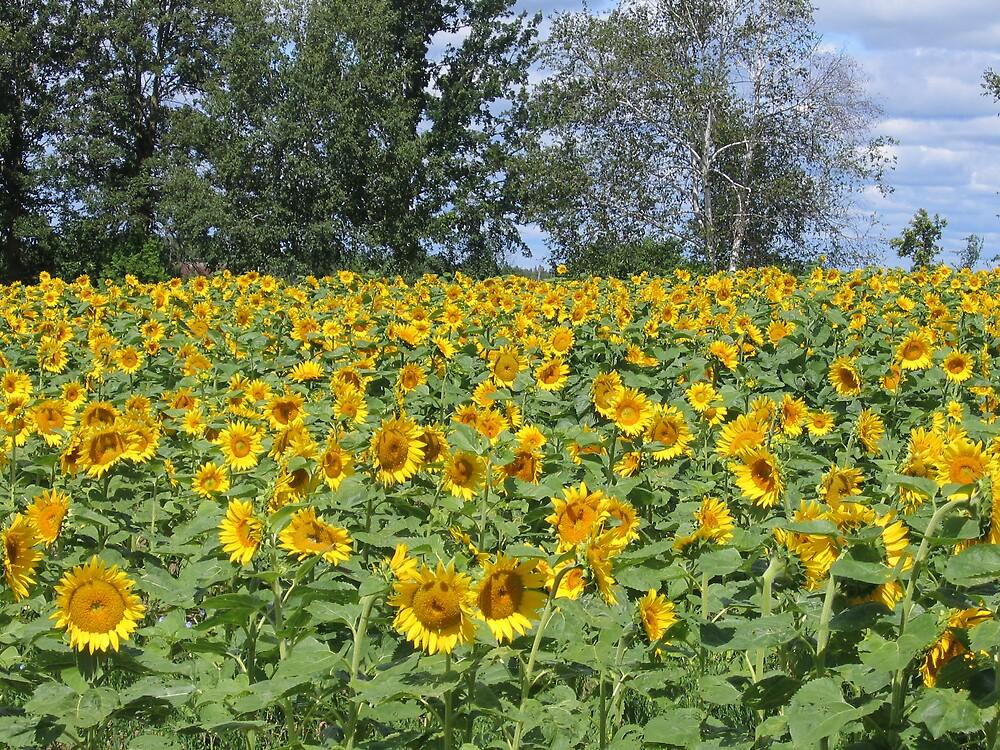 Sunflowers in Canada by revdrrenee