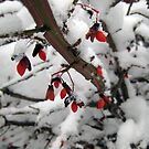 Snow on the Berries by Donna R. Cole
