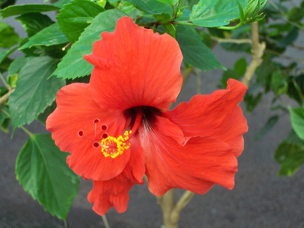 Perfect red hibiscus by revdrrenee