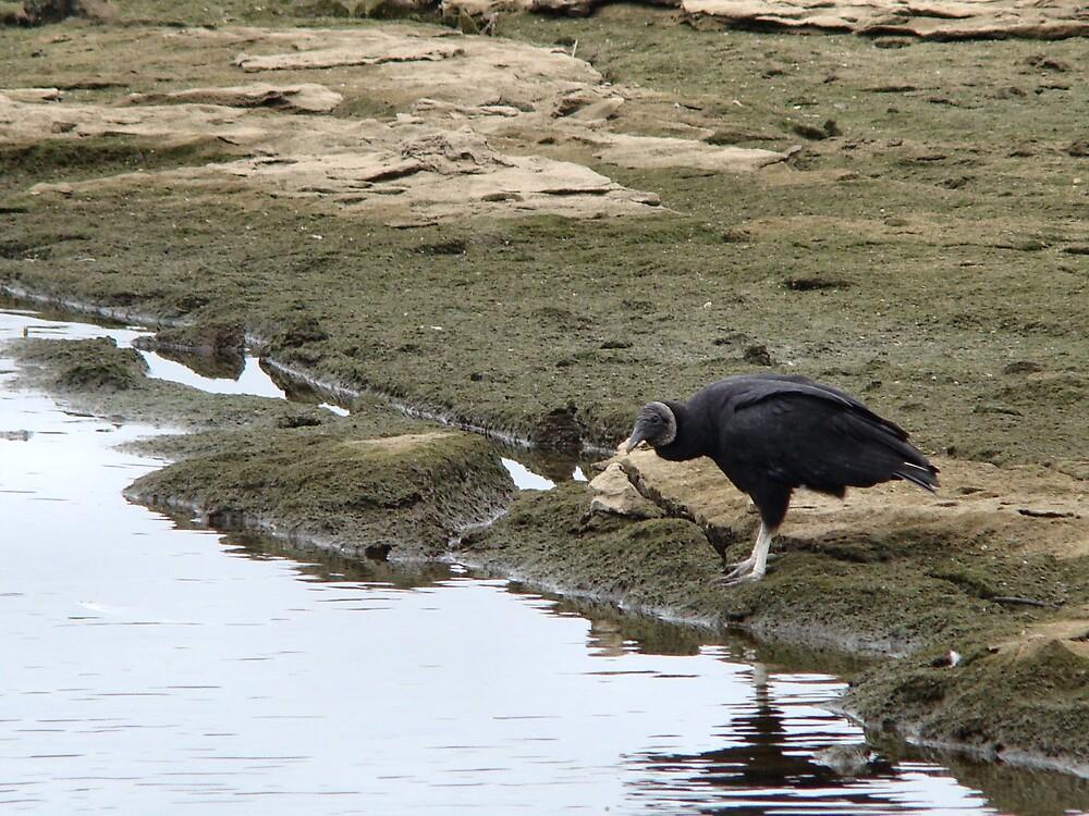 Black Vulture by Maggie Lee
