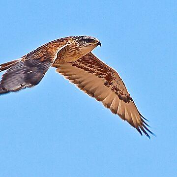 Ferruginous Hawk by mcollins
