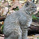Bobcat by tkrosevear