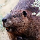 North American Beaver by Alyce Taylor