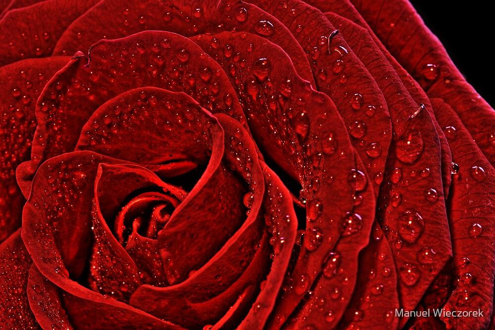 rose by Manuel Wieczorek