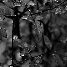 A Dream of Summer Rain by Lydia Marano