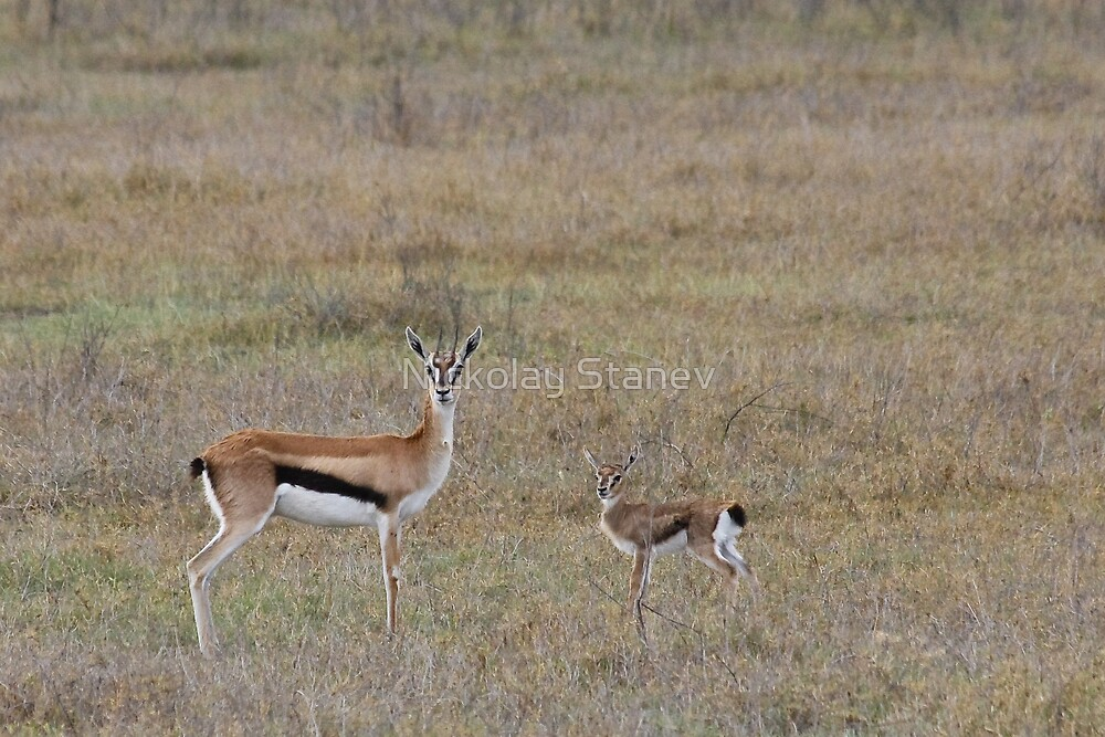 Thomson Gazelle and Young by Nickolay Stanev