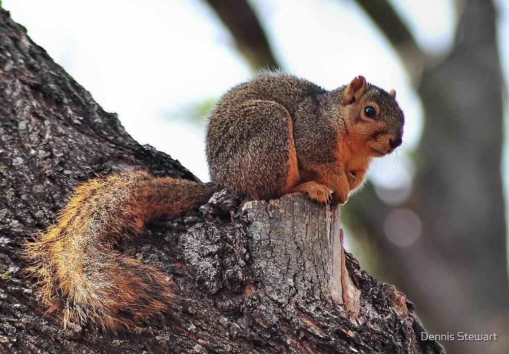 Tree Squirrel  by Dennis Stewart