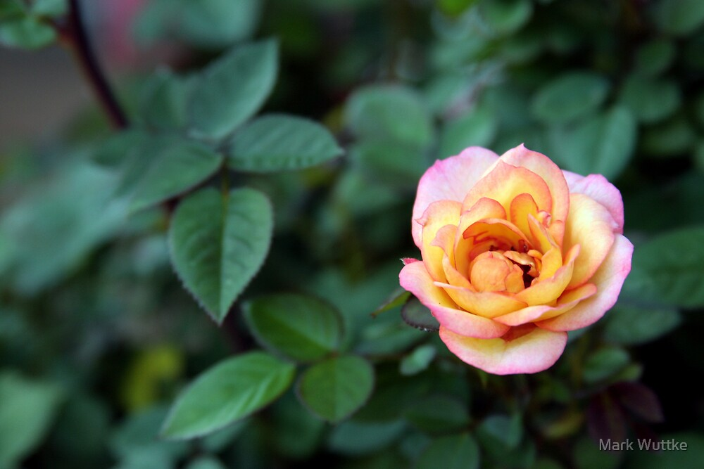 Rose on Green by Mark Wuttke