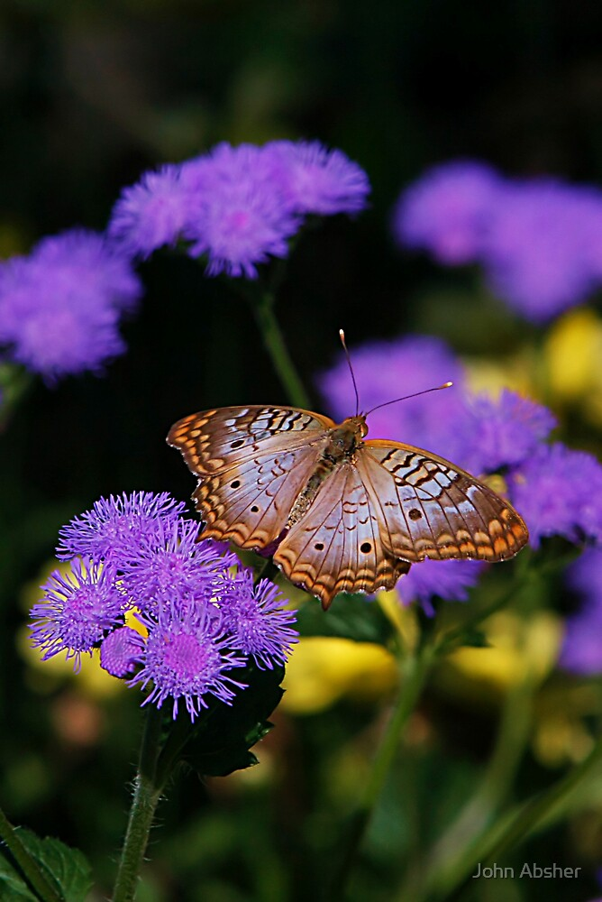White Peacock Butterfly by John Absher