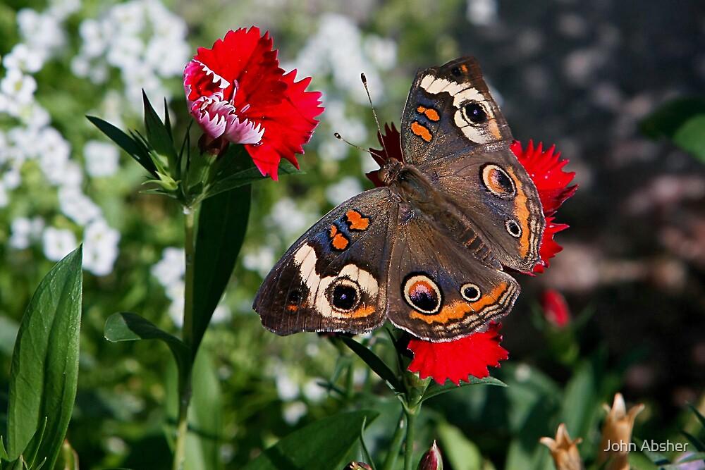 Buckeye Moth by John Absher