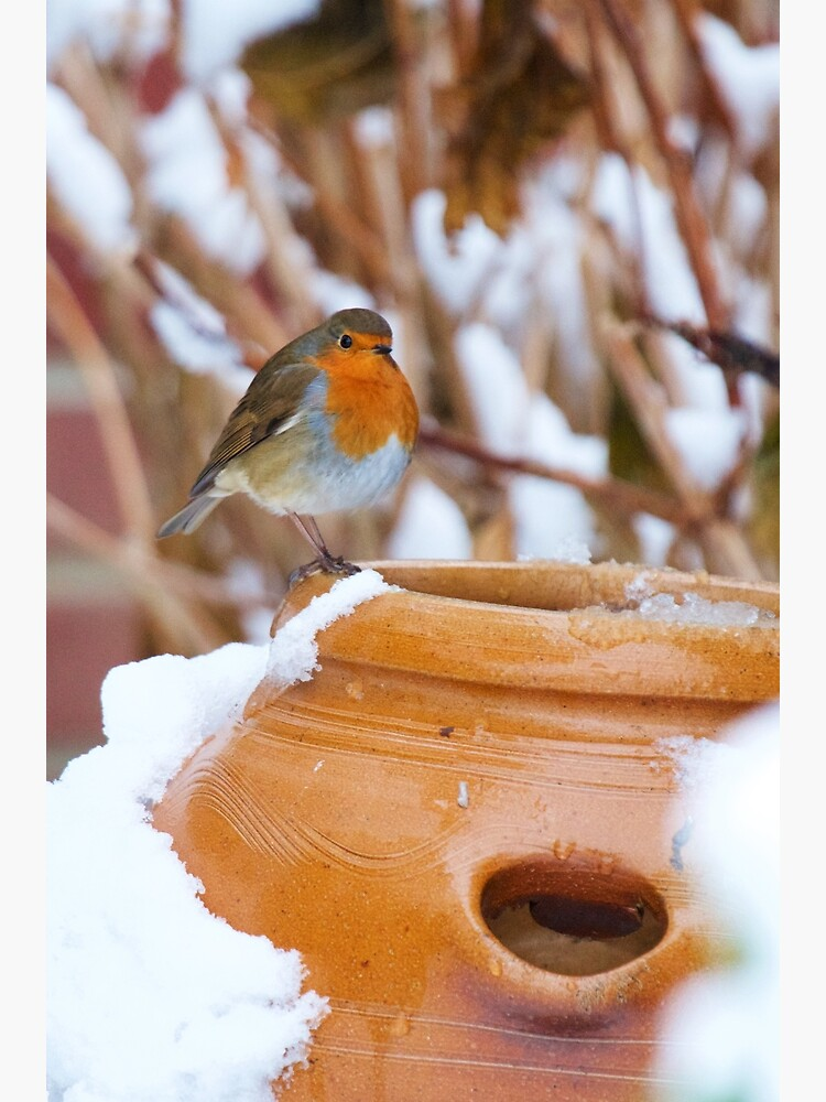 Robin (Erithacus rubecula) by robcole