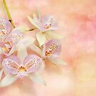 Orchid - Caulocattleya - The twinkle in my eye by Michael Savad