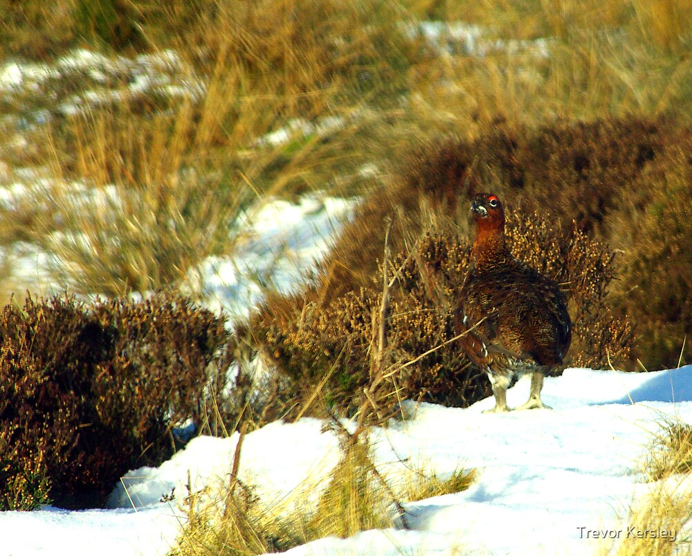 Red Grouse by Trevor Kersley
