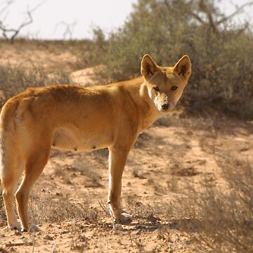 Dingo in the desert by DavidBurren