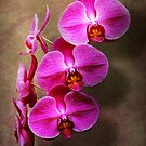 Orchid - Phalaenopsis - The moth orchid by Michael Savad