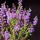A Sprig of Heather by Kat Simmons