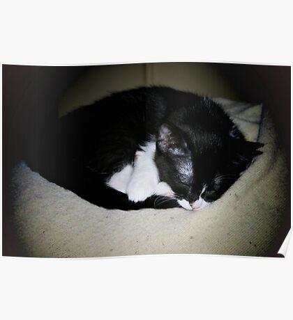 Beautiful Sleeping cat Poster