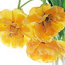Umbrella Tulips by Ann Garrett