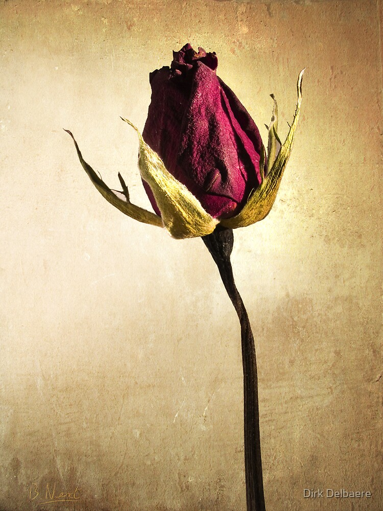 Rose by Dirk Delbaere