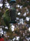 Green Parrot by davesphotographics