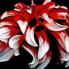 Red And White Dahlia by Lynda Anne Williams