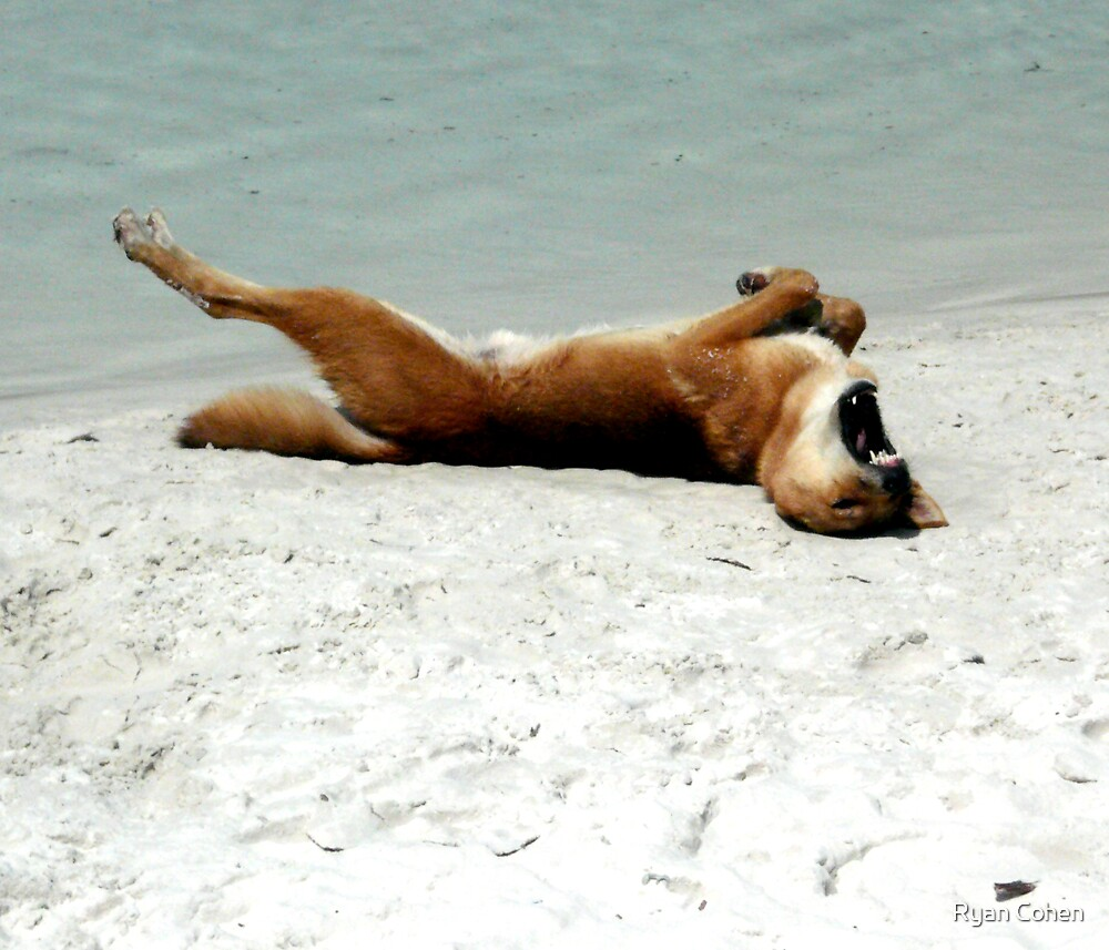 Dingo Stretching by Ryan Cohen