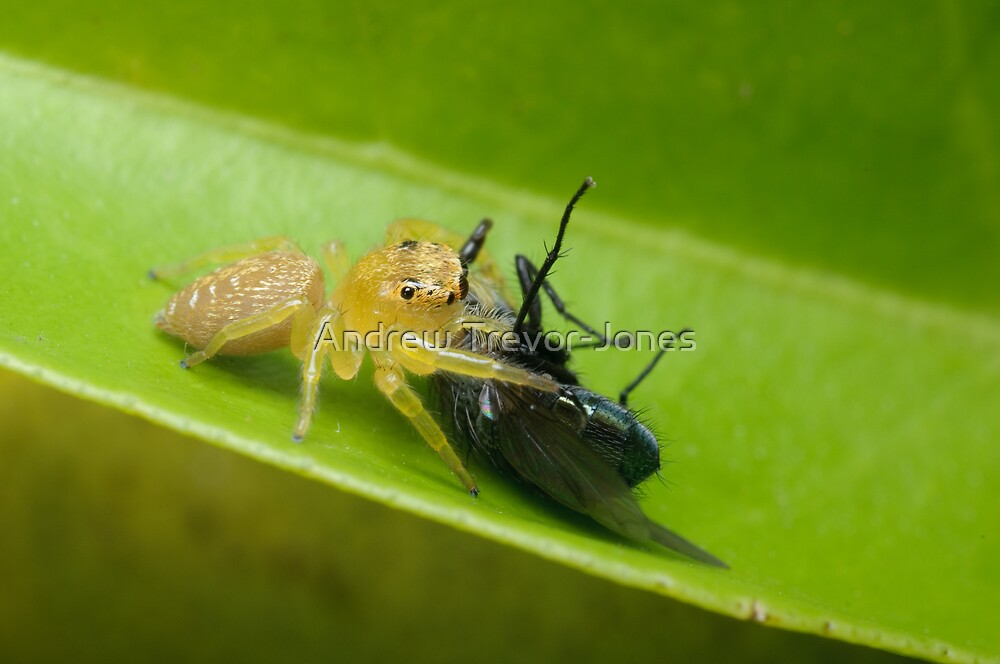 Jumping Spider with Prey by Andrew Trevor-Jones