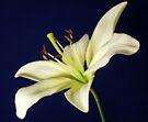 Lily on Blue by Sandy Keeton