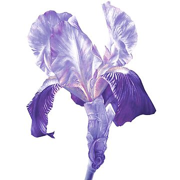 Flag Iris watercolor gouache flower painting in ultra violet hues by sarahtrett