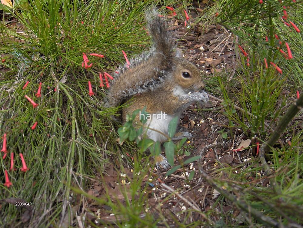 squirrel by hardt