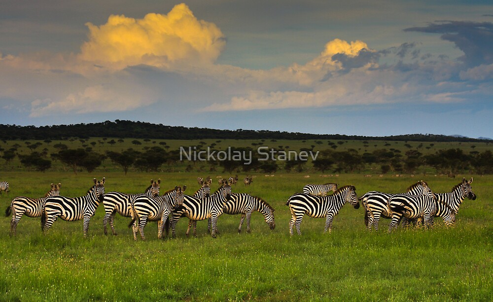 Zebras at Sunset by Nickolay Stanev